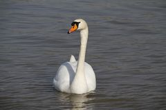 Uma cisne nova nada calmamente na água fotos de stock