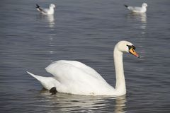 Uma cisne nova nada calmamente na água imagem de stock