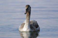 Uma cisne nova nada no lago imagens de stock royalty free