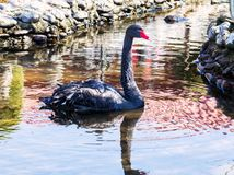Uma cisne preta em uma lagoa Fotos de Stock