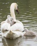 Uma cisne que leva seus cisnes novos imagens de stock