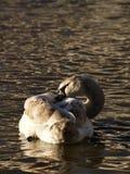 Uma cisne que ruffling penas Foto de Stock Royalty Free