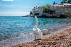 Uma cisne solitária Fotografia de Stock Royalty Free