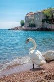 Uma cisne solitária Fotos de Stock