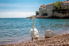 Uma cisne solitária Foto de Stock Royalty Free