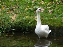 Uma cisne uma natação na cor Fotos de Stock Royalty Free