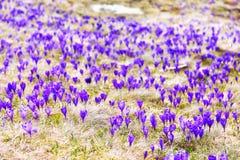 Uma clareira com as flores de florescência do açafrão Imagem de Stock