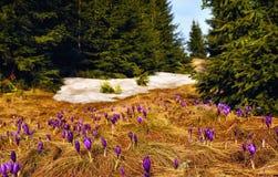 Uma clareira com as flores de florescência do açafrão Fotografia de Stock