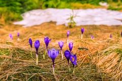 Uma clareira com as flores de florescência do açafrão Fotografia de Stock Royalty Free