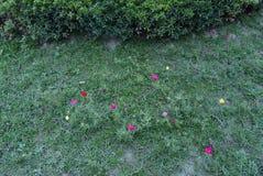 Uma clareira com flores de uma cor diferente do portrail em um fundo de um arbusto Fotos de Stock