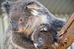 Uma coala australiana foto de stock royalty free