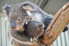 Uma coala australiana foto de stock