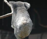 Uma coala com o o seu de volta ao visor Fotos de Stock