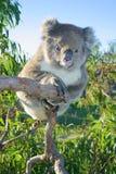 Uma coala que senta-se em uma árvore de goma austrália Imagem de Stock