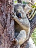 Uma coala selvagem australiana que dorme na árvore do eucalipto ou de goma Ilha magnética, Austrália imagens de stock royalty free