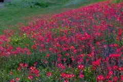 Uma cobertura alaranjada brilhante de Wildflowers de Painbrush do indiano em Oklahoma. Imagens de Stock Royalty Free