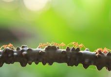 Uma colônia das formigas verdes que têm uma conversação em uma videira, transparente brilhante das formigas, o bokeh e o fundo ve foto de stock royalty free