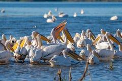 Uma colônia de grandes pelicanos brancos (Pelecanidae) e de Pel do Dalmatian Imagens de Stock