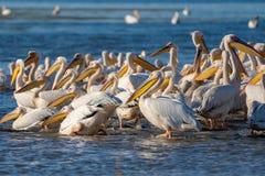 Uma colônia de grandes pelicanos brancos (Pelecanidae) e de Pel do Dalmatian Fotografia de Stock