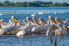 Uma colônia de grandes pelicanos brancos (Pelecanidae) e de Pel do Dalmatian Foto de Stock Royalty Free