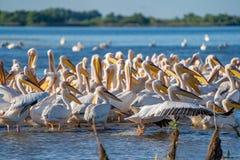 Uma colônia de grandes pelicanos brancos (Pelecanidae) e de Pel do Dalmatian Fotografia de Stock Royalty Free