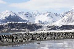 Uma colônia de pinguins de rei na planície de Salisbúria em Geórgia sul fotografia de stock royalty free