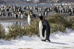 Uma colônia de pinguins de rei na planície de Salisbúria em Geórgia sul foto de stock
