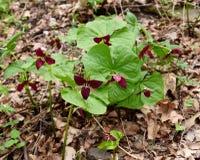 Uma colônia do trillium do pisco de peito vermelho da vigília planta emergir em uma floresta da mola fotografia de stock royalty free
