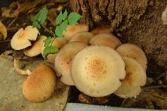 Uma colônia de cogumelos Gilled de espécies do agaricus Imagem de Stock