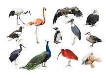 Uma colagem dos pássaros dos continentes diferentes Foto de Stock