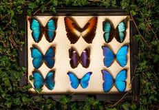 Uma coleção de borboletas azuis imagem de stock royalty free