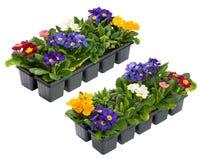 Uma coleção dos Primulas do aspecto dois Imagens de Stock Royalty Free