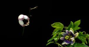 Uma cole??o do passiflora de floresc?ncia e orqu?deas, uma colagem de dois timelaps filme