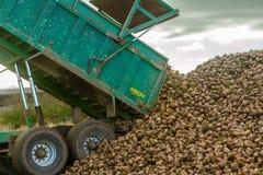 Uma colheita da beterraba em andamento - reboque que descarrega beterrabas Fotografia de Stock