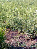 Uma colheita das ervilhas Imagem de Stock