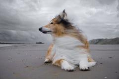 Uma collie áspera vermelha adulta encontra-se na praia Fotografia de Stock Royalty Free