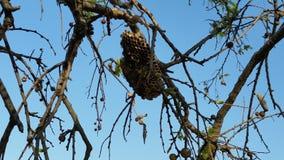 Uma colmeia abandonada da abelha em uma árvore foto de stock royalty free