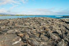 Uma confusão de Marine Iguanas Fotografia de Stock Royalty Free