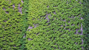 Uma conversão na parte dianteira da casa A videira após a parede da construção Uma hera de flutuação da planta balança no vento vídeos de arquivo