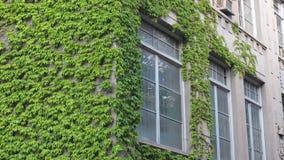 Uma conversão na parte dianteira da casa A videira após a parede da construção Uma hera de flutuação da planta balança no vento filme