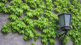 Uma conversão na parte dianteira da casa A videira após a parede da construção Uma hera de flutuação da planta balança no vento video estoque