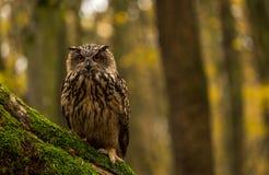 Uma coruja de Eagle euro-asiática Imagem de Stock