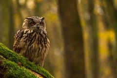 Uma coruja de Eagle euro-asiática Fotos de Stock Royalty Free