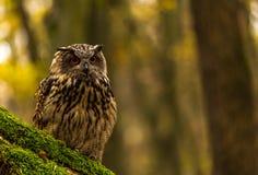 Uma coruja de Eagle euro-asiática Imagem de Stock Royalty Free