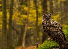 Uma coruja de Eagle euro-asiática Imagens de Stock