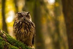 Uma coruja de Eagle euro-asiática Imagens de Stock Royalty Free