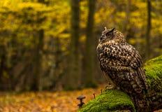Uma coruja de Eagle euro-asiática Fotos de Stock