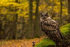 Uma coruja de Eagle euro-asiática Fotografia de Stock Royalty Free