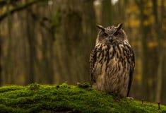 Uma coruja de Eagle euro-asiática Foto de Stock Royalty Free
