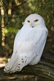 Uma coruja do branco nevado Fotografia de Stock Royalty Free